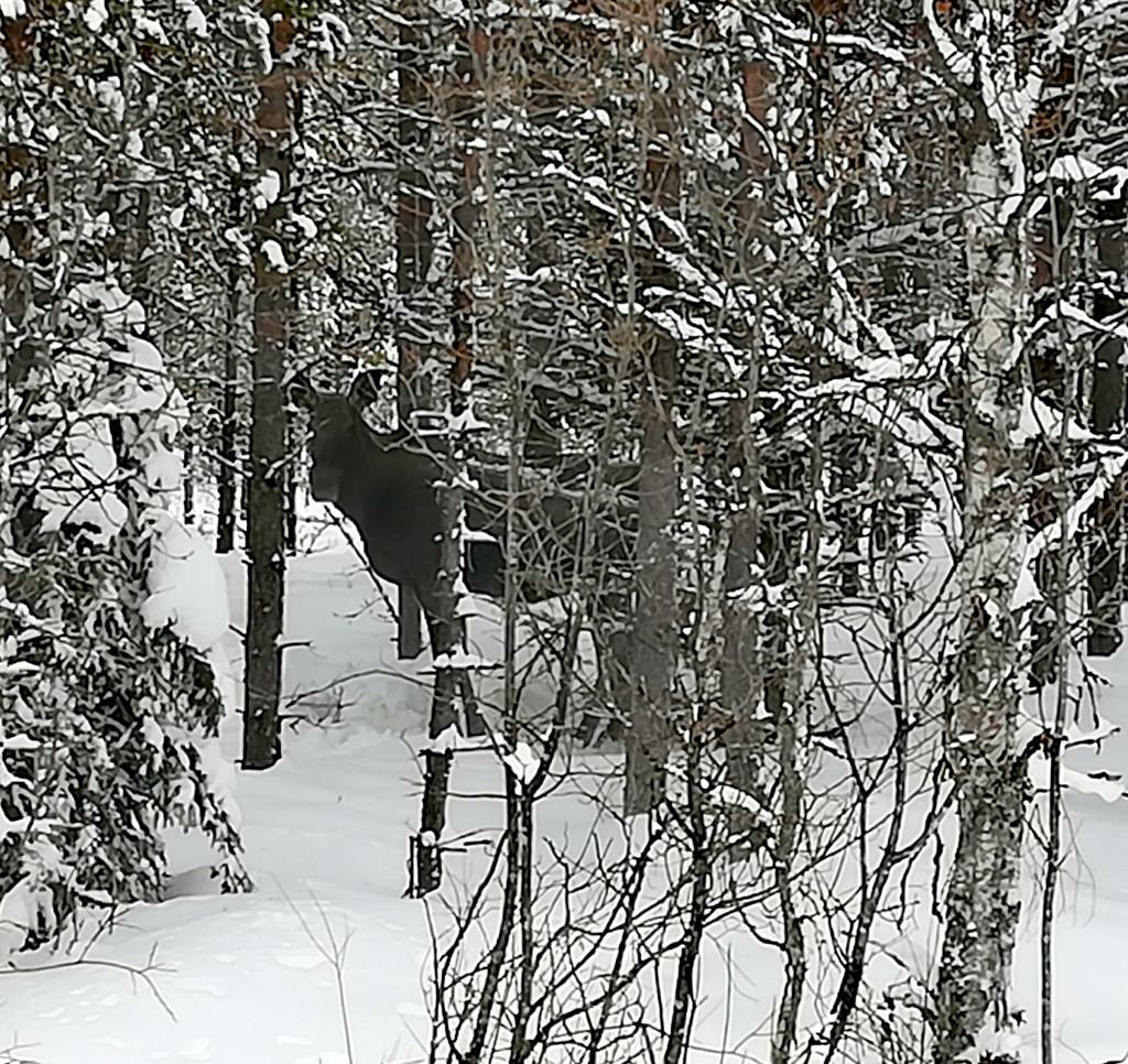Elch in Schweden