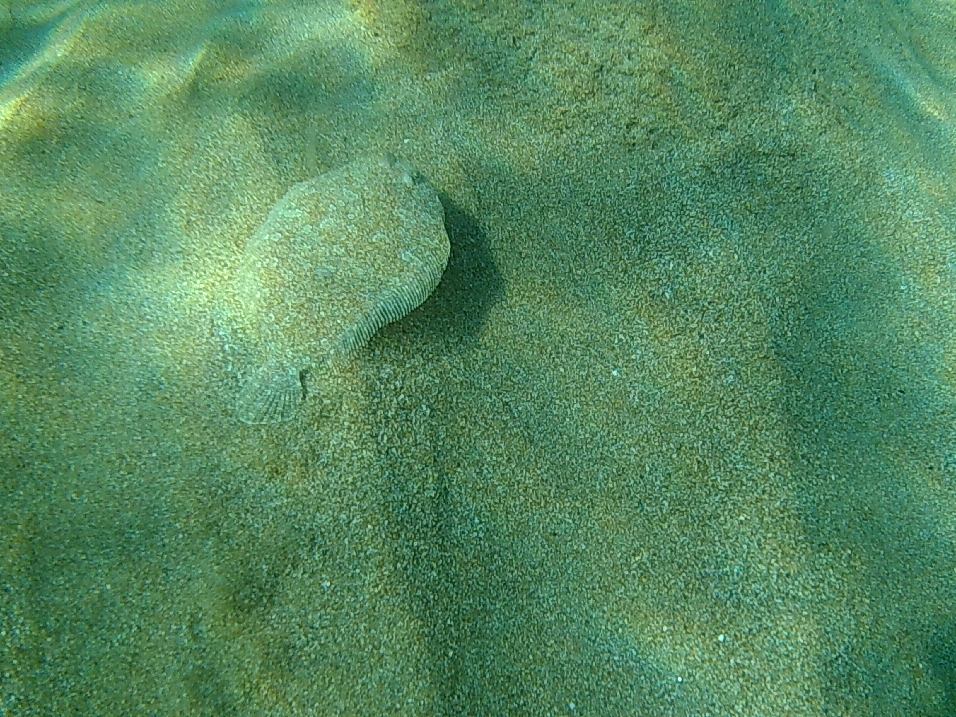 Plattfisch auf Korsika