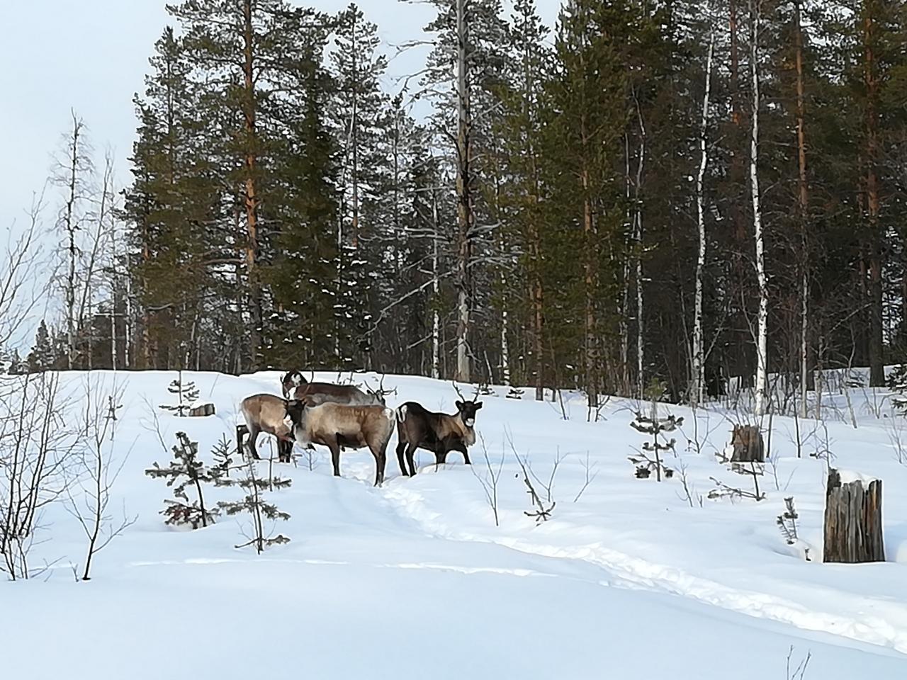 Rentiere Laponia Schweden