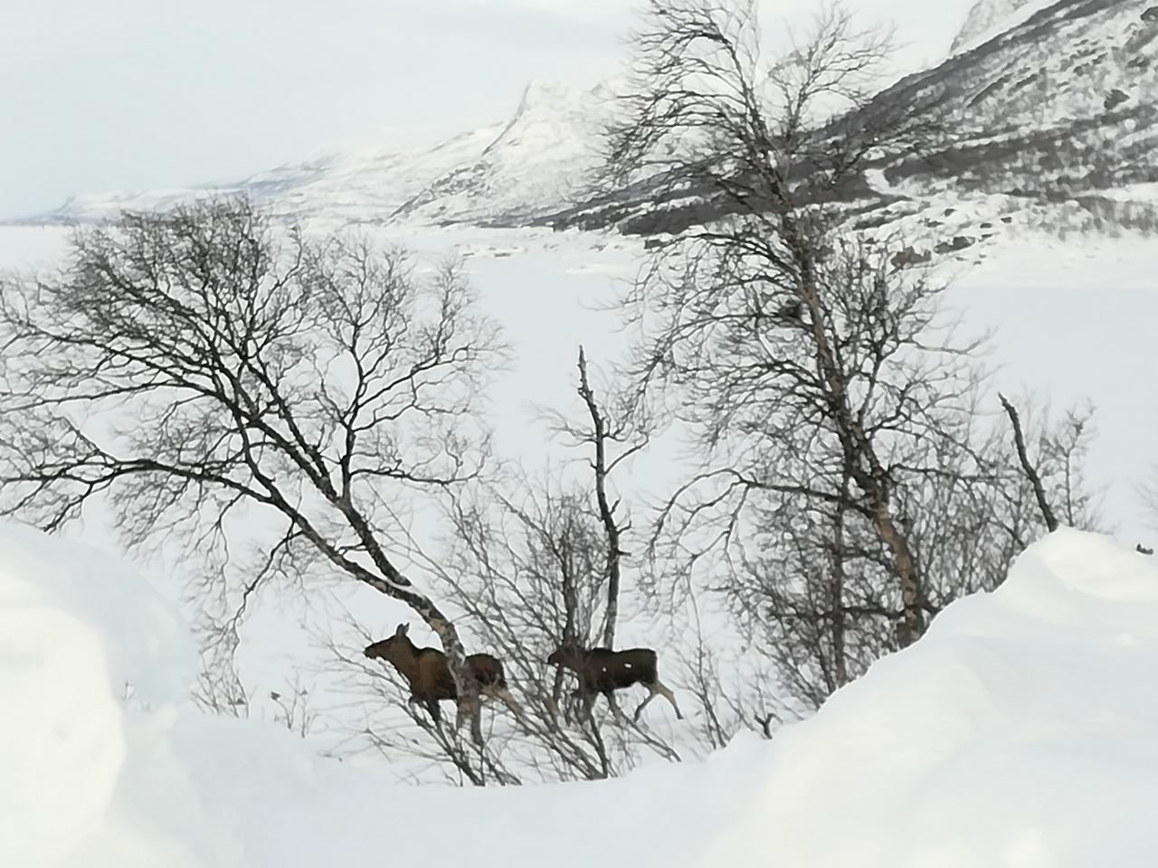 Elche Lappland Stora Sjöfallet
