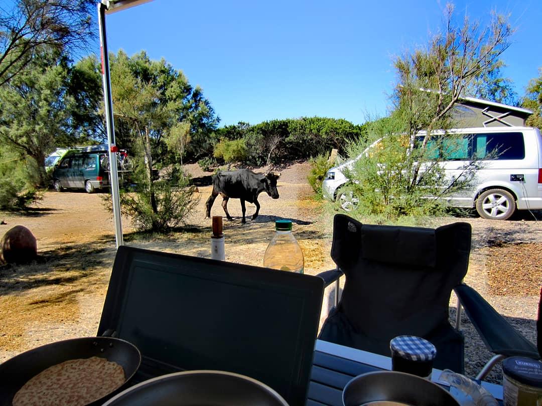 Kuh am Campingplatz La Morsetta