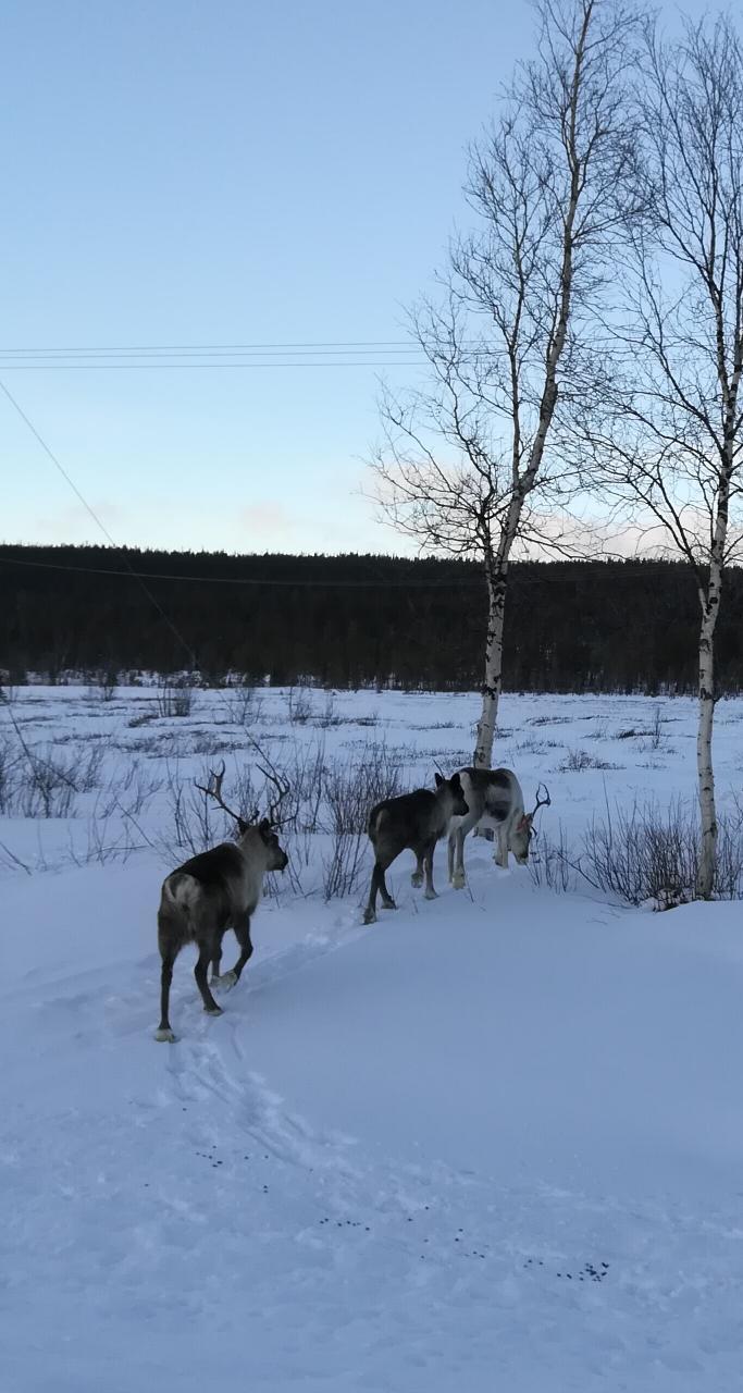 Rentiere in Jokkmokk Schweden