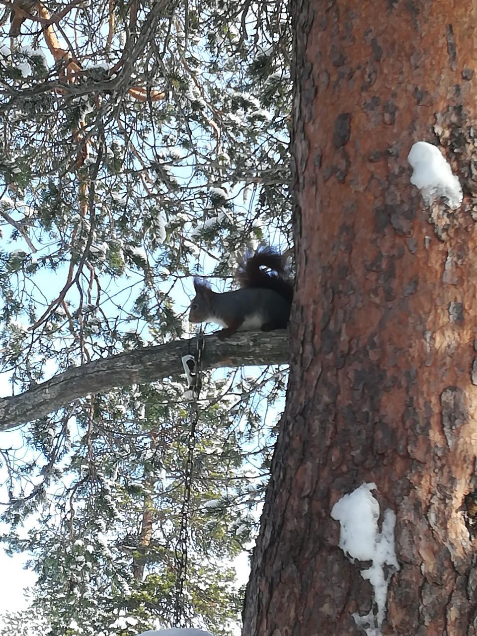 Eichhörnchen im Fulufjället