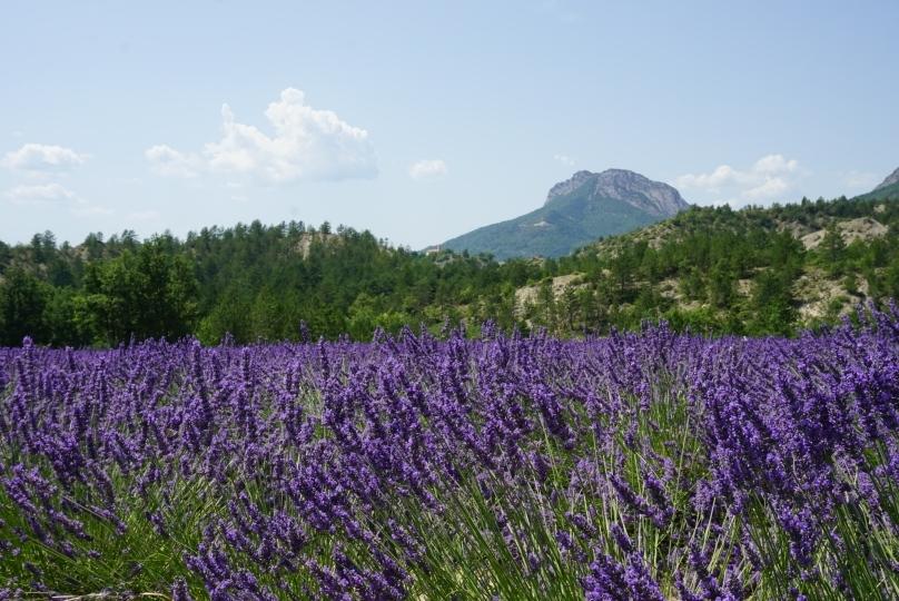 Lavendel bei Gordes