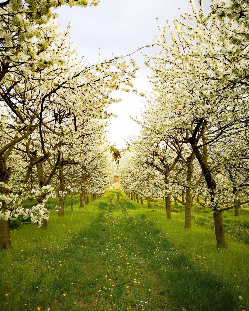 Frühling Würzburg Kirschblüte