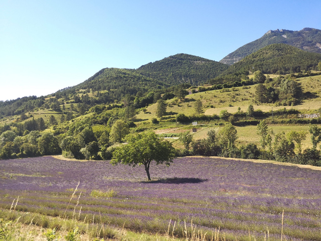 Chamaloc Lavendel Frankreich ALpen